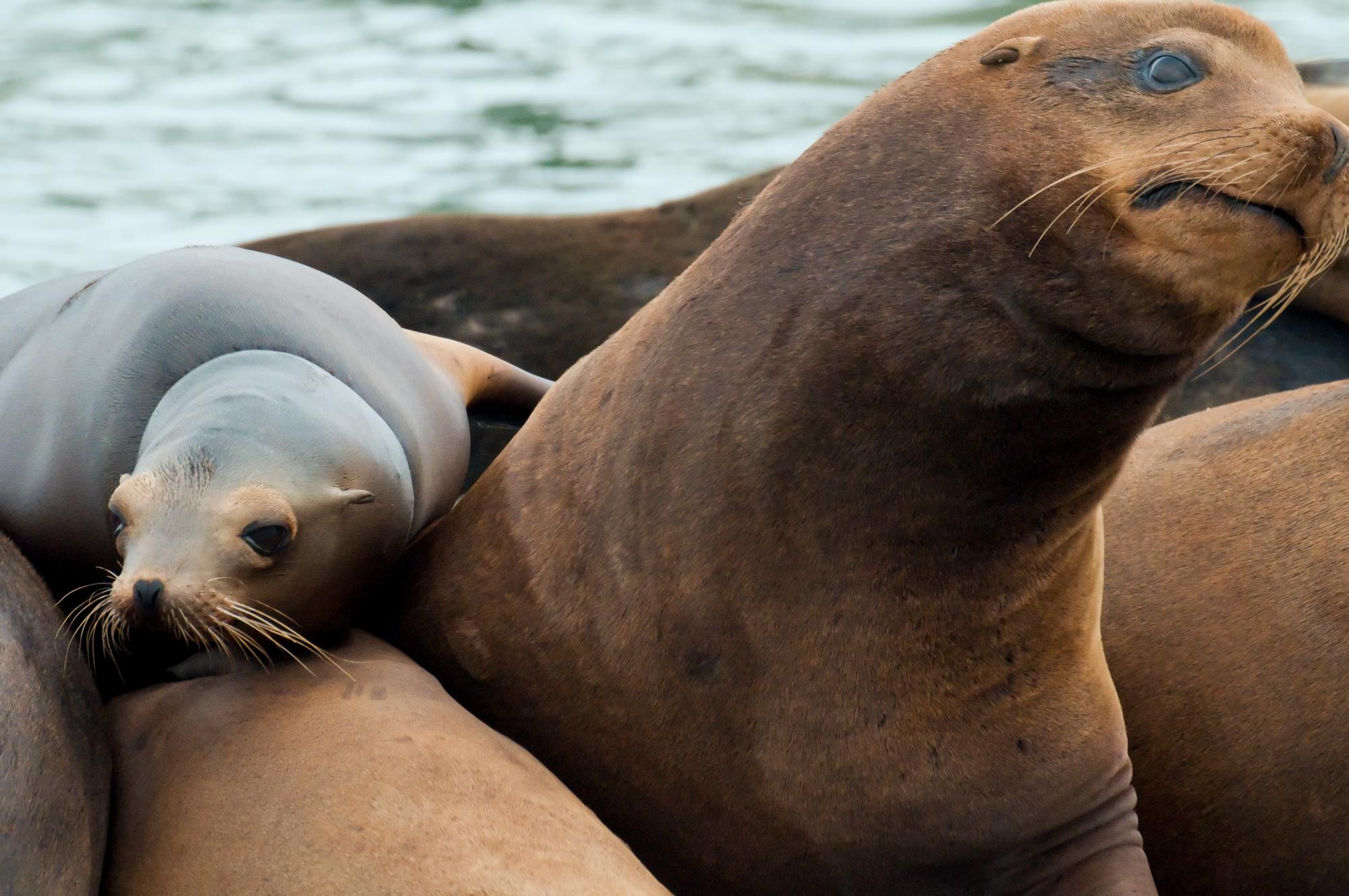 20100601_Sea_Lion_Expressions.jpg